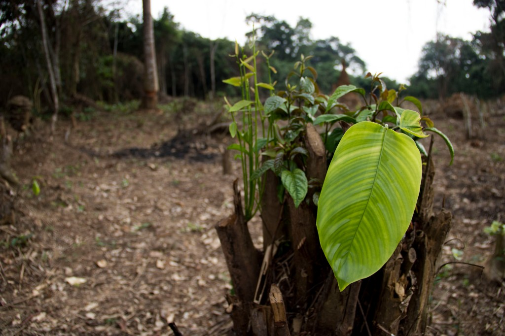 "A tree stump sprouts new life in Ntondo, DRC. Most farmers in the region practice rotational agriculture, better known as ""slash-and-burn farming,"" in order to maintain crop productivity in the nutrient-poor rainforest soil. Initiatives that provide access to sources of income that don't depend on forest destruction could help reduce this impact. (Photo by Molly Bergen/WCS, WWF, WRI)"