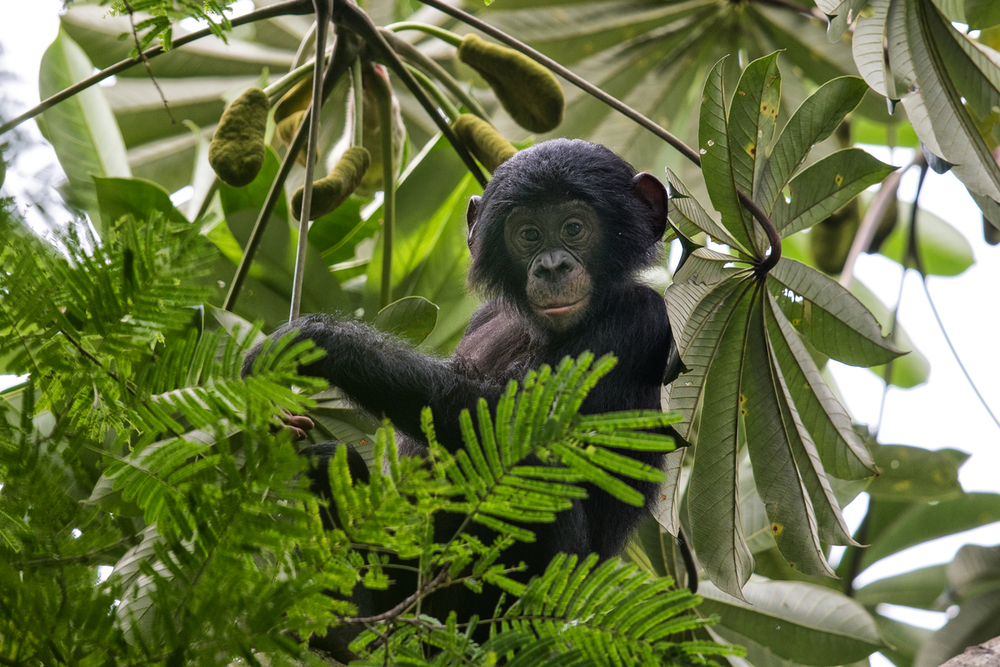 A young bonobo in the forest canopy in the village of Nkala, Malebo, DRC. Wild bonobos are found only in the DRC, which gives hope to some burgeoning tourism initiatives. (© Karine Aigner / WWF-US)
